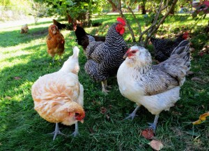 group-of-chickens